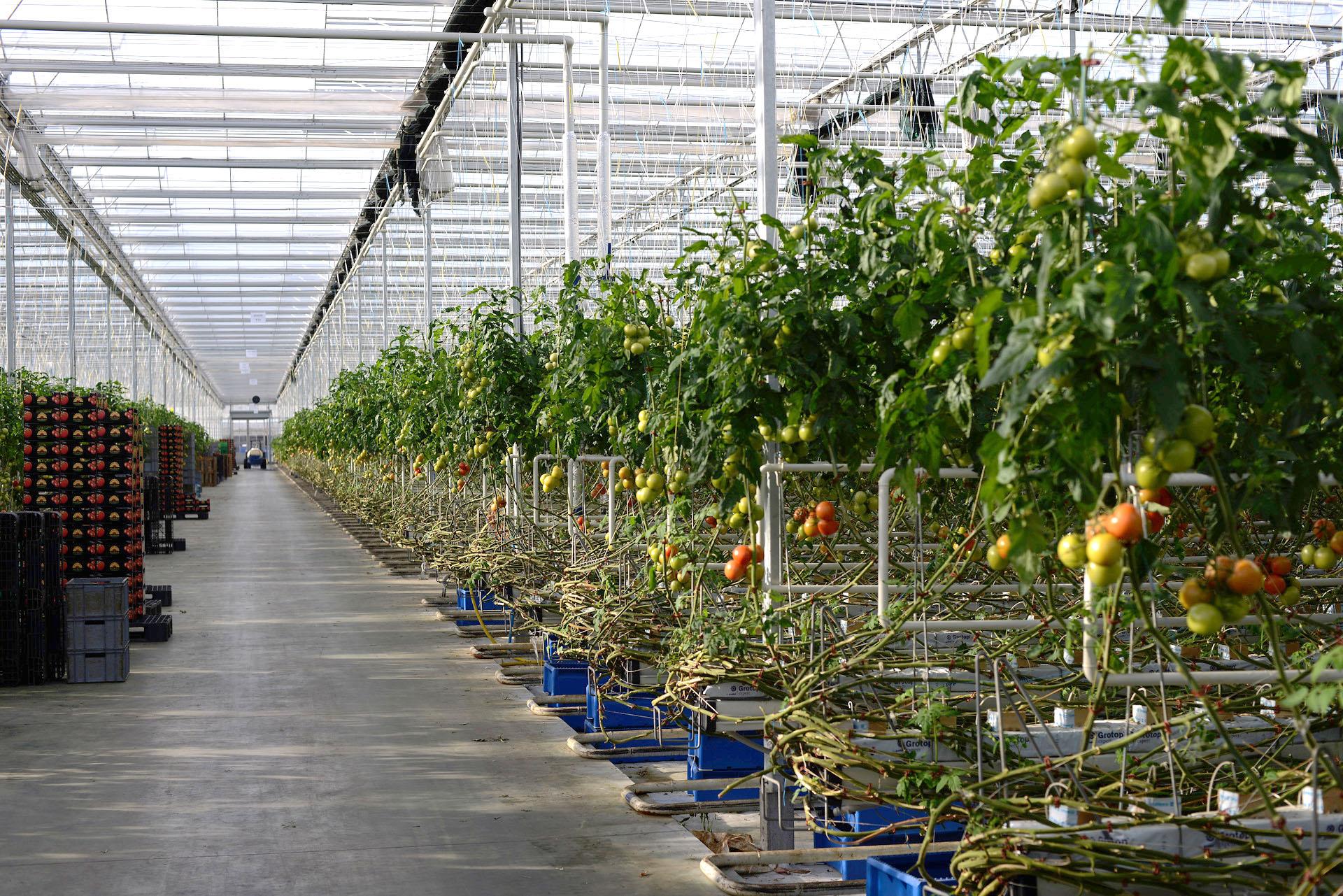 invernaderos-en-polonia-tomate